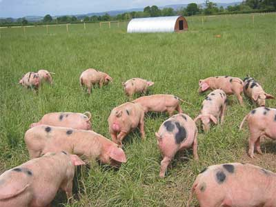 pigs-outside-field1