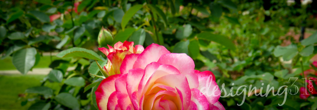 pink tip rose-2