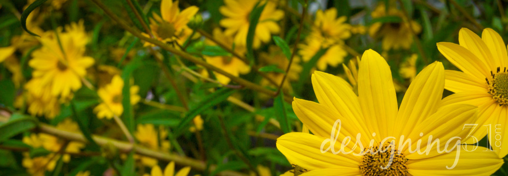 yellow daisy2